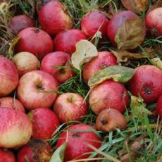 AKTUALISIERUNG Apfel-Wochenende