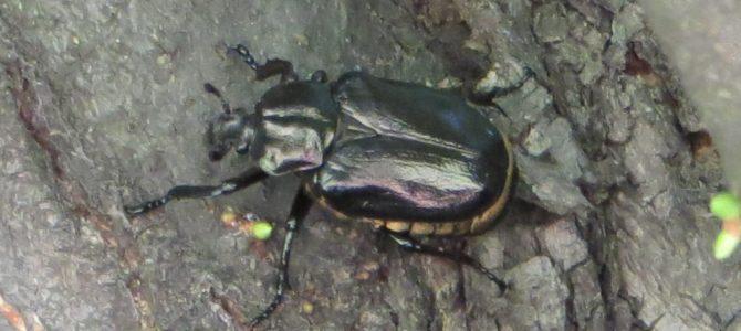 """Exkursion """"Auf den Spuren des Eremit und anderer Baumhöhlen bewohnenden Insekten"""""""