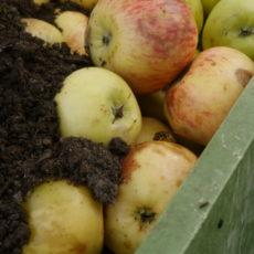 Apfelernte-Aktion auf Freitals Streuobstwiesen am 06.10.2019