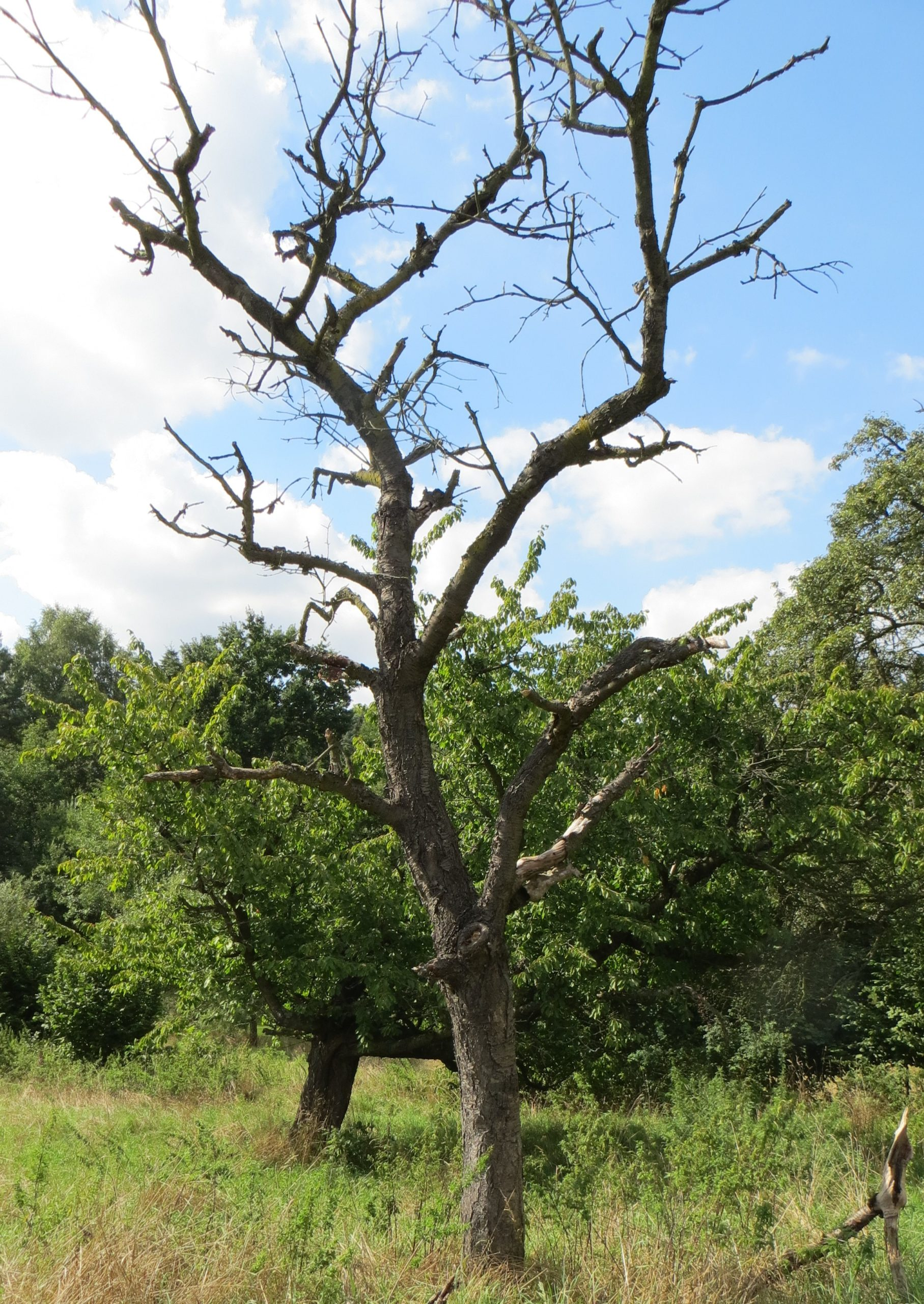 Alte Obstbäume – Lebensraum vieler Insekten