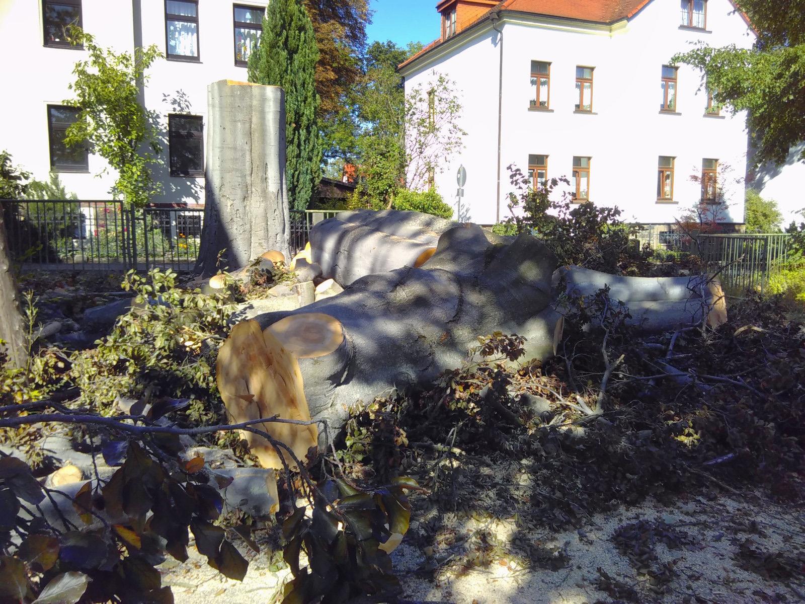 Wieder ein Baum-Naturdenkmal weniger: Blut-Buche in Freiberg